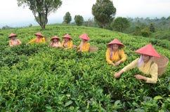 Teepflücker stockbilder