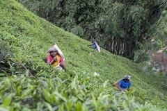 Teepflücker bei der Arbeit über den Maskeliya-Plantagen Mousakellie-Zustand, nahe Adams-Spitze in Sri Lanka Lizenzfreies Stockbild