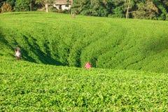 Teepflücker bei der Arbeit Stockfoto