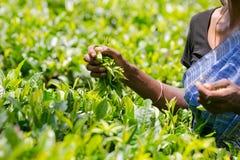 Teepflücker, der frische Teeblätter hält lizenzfreie stockfotos