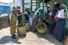 Teepflücker holen in ihre Morgenarbeit, an einer Plantagenstation nahe Nuwara Eliya in Sri Lanka gewogen zu werden Lizenzfreie Stockbilder