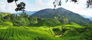 Teepflanze in Cameron Highlands in Malaysia lizenzfreies stockfoto