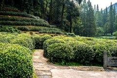Teepflanze Hangzhou Lizenzfreie Stockfotos