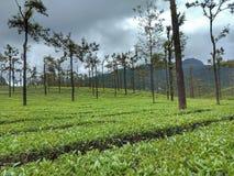 Teepflanze stockbilder