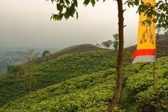 Teepflanzen nahe Ceto-Tempel in Jawa Tengah Stockbilder