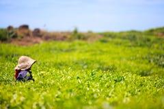 Teeplantage stockbild