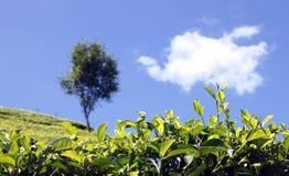Teeplantage Lizenzfreies Stockfoto