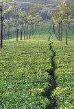 Teeplantage Stockbilder
