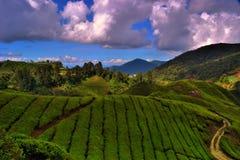 Teeplantage stockfoto