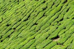 Teeplantage stockfotos