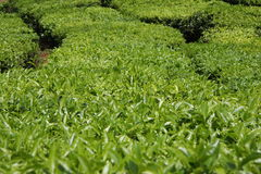 Teeplantage Stockfotos