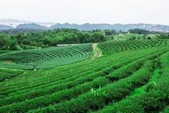 Teeplantage auf Berg Stockfotografie