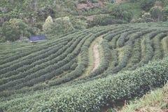 Teeplantage auf Berg Grüner Tee und frische Blätter Lebensmittel u. a Stockfoto