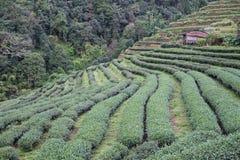 Teeplantage auf Berg Grüner Tee und frische Blätter Lebensmittel u. a Lizenzfreie Stockfotos