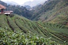 Teeplantage auf Berg Grüner Tee und frische Blätter Lebensmittel u. a Lizenzfreie Stockbilder