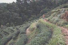 Teeplantage auf Berg Grüner Tee und frische Blätter Lebensmittel u. a Stockfotografie