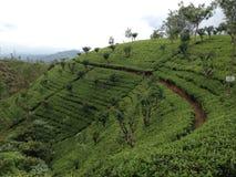 Teeplantage auf den hilss Stockfotografie