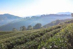 Teeplantage auf Hügel Stockfotografie