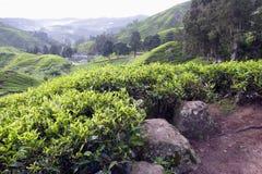 Teeplantage bei Cameron Highlands Stockfoto