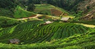 Teeplantage bei Doi Angkhang, Nord-Thailand Stockfotografie