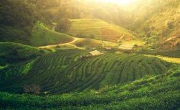 Teeplantage bei Doi Angkhang, Nord-Thailand Stockbilder