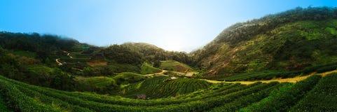 Teeplantage bei Doi Angkhang, Nord-Thailand Lizenzfreies Stockbild
