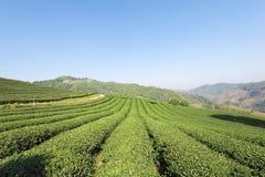 Teeplantage bei Doi Mae Salong, Chiang Rai, Thailand Ansicht von t Stockfotografie