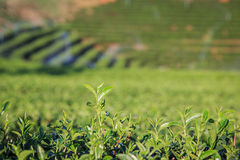 Teeplantage in Chiang Rai Nord von Thailand Lizenzfreie Stockfotografie