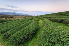 Teeplantage in Chiang Rai Nord von Thailand Lizenzfreies Stockfoto