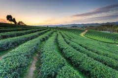 Teeplantage in Chiang Rai Nord von Thailand Lizenzfreie Stockbilder