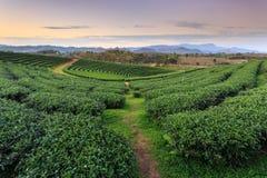 Teeplantage in Chiang Rai Nord von Thailand Stockfotografie