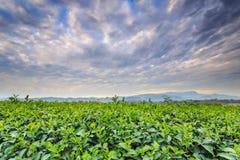 Teeplantage in Chiang Rai Nord von Thailand Lizenzfreies Stockbild