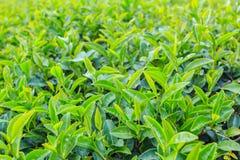 Teeplantage in Chiang Rai Nord von Thailand Lizenzfreie Stockfotos