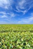 Teeplantage in Chiang Rai Nord von Thailand Stockbild