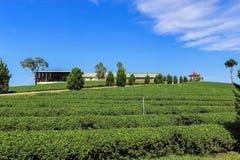 Teeplantage in Chiang Rai, Thailand Stockbild