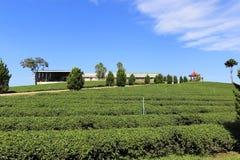 Teeplantage in Chiang Rai, Thailand Lizenzfreies Stockfoto