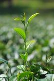 Teeplantage in Chiang Rai, Thailand Lizenzfreie Stockfotos