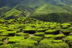 Teeplantage in den Bergen Stockfotos