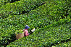 Teeplantage in den Cameron-Hochländern Lizenzfreie Stockfotografie