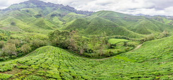 Teeplantage am hellen sonnigen Tag in Cameron-Hochländern, Malaysia stockfotos