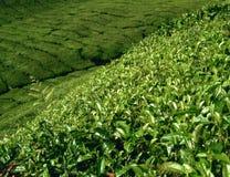 Teeplantage in Malaysia lizenzfreies stockfoto