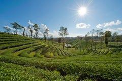 Teeplantage mit Sonnestrahl unter dem blauen Himmel Lizenzfreies Stockbild