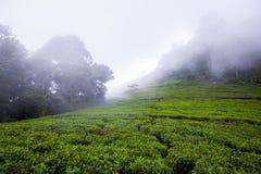 Teeplantage am Morgen im Nebel, Sri Lanka Lizenzfreie Stockfotografie