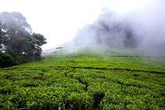 Teeplantage am Morgen im Nebel, Sri Lanka Stockfotografie