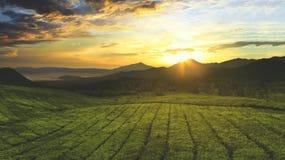 Teeplantage morgens Stockfoto