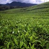 Teeplantage in Munnar, Kerala, Indien Stockbilder