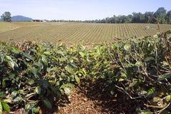 Teeplantage in Nord-Queensland lizenzfreies stockbild