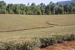 Teeplantage in Nord-Queensland Australien stockfotos