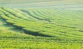 Teeplantage in Nord-Thailand Lizenzfreie Stockbilder