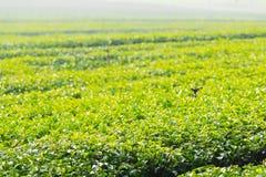 Teeplantage in Nord-Thailand Stockbilder